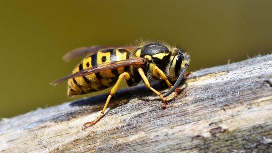Zo zorg je ervoor dat je geen last meer hebt van wespen!